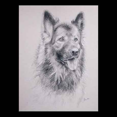 German Shepherd dog portrait drawing on paper